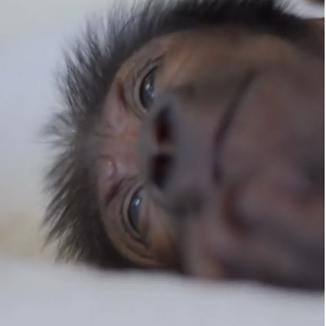 watch-the-incredible-story-behind-this-tiny-gorillas-miracle-birth