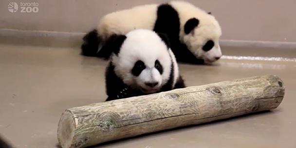 watch-torontos-own-baby-pandas-take-their-first-steps